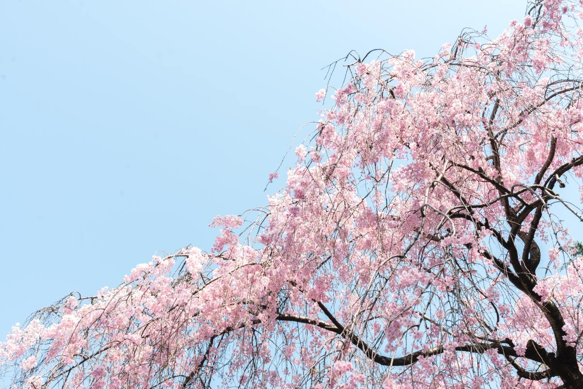 It's important to carefully choose which branches you prune from your cherry blossom tree.