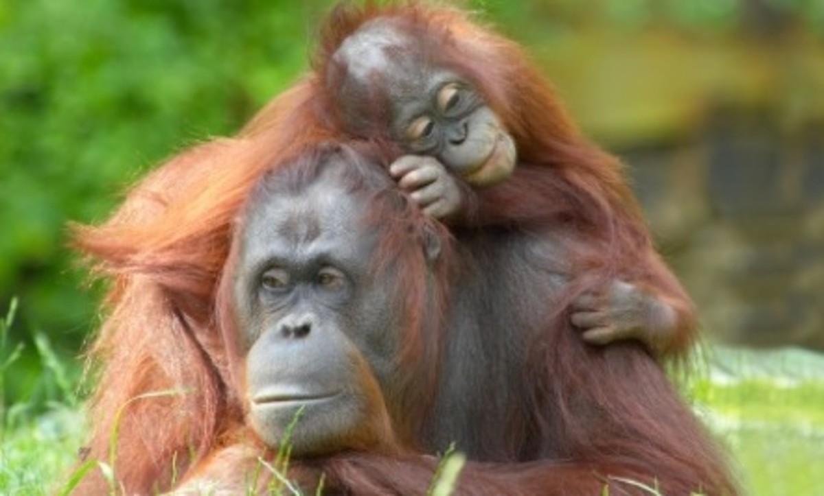 Mama Orangutans