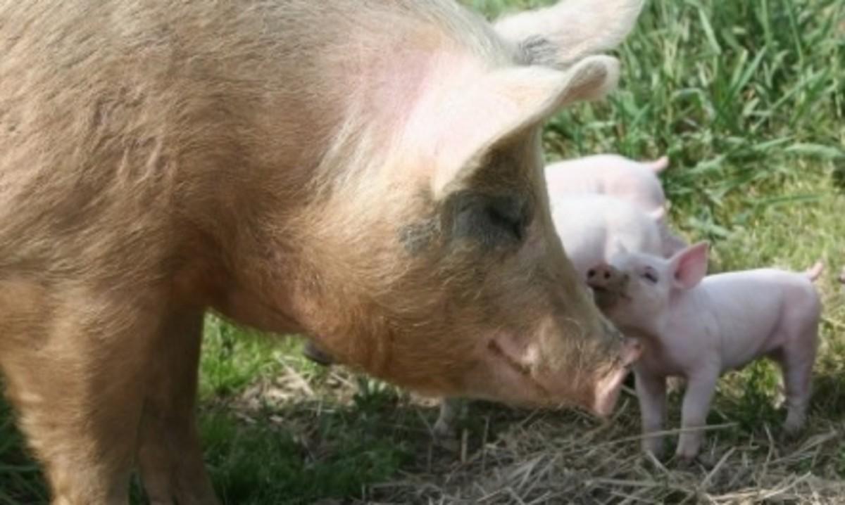 Mama Pigs
