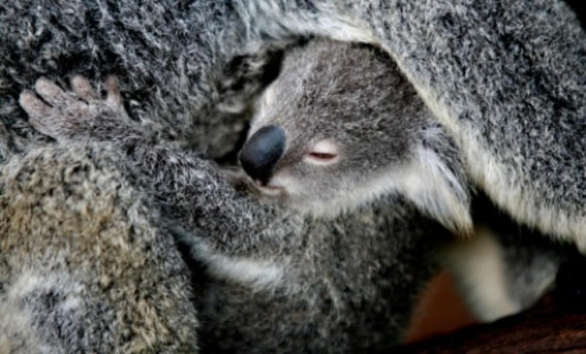 Mama Koalas