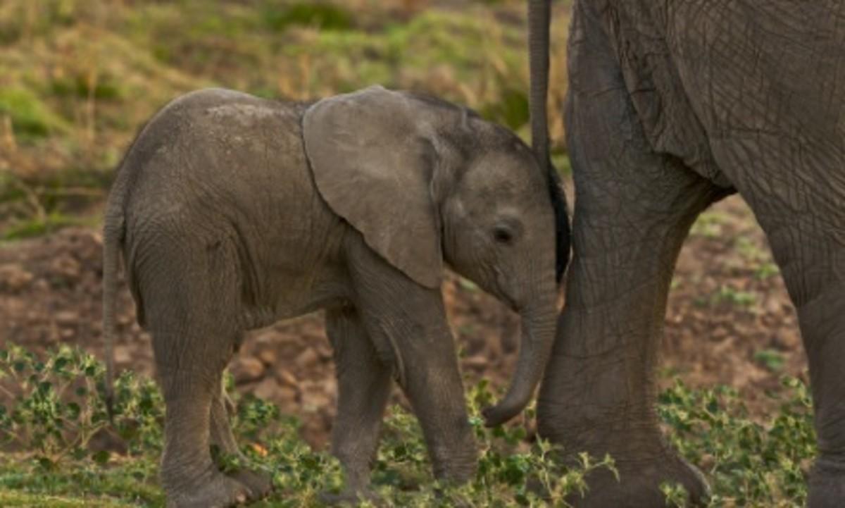 Mama Elephants