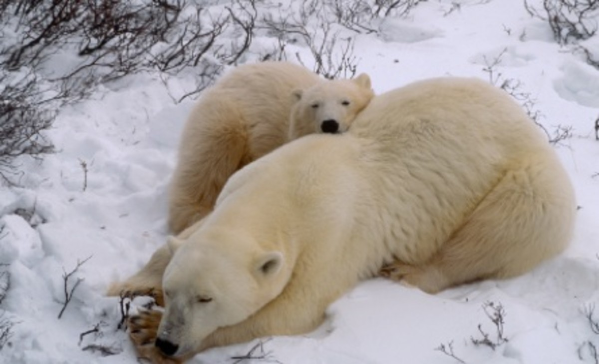 Mama Polar Bears