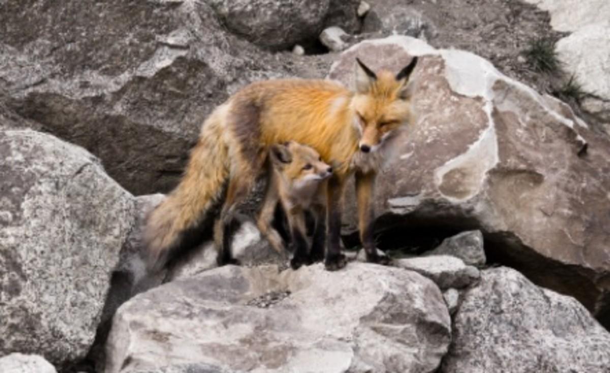 Mama Fox