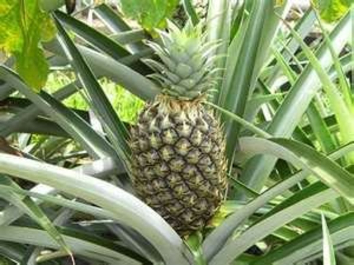 Pineapple Image Credit: http://www.refrigeratorsoup.com/