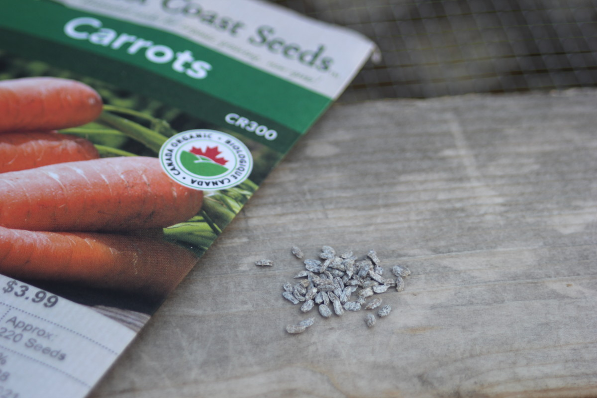 Coated carrot seeds