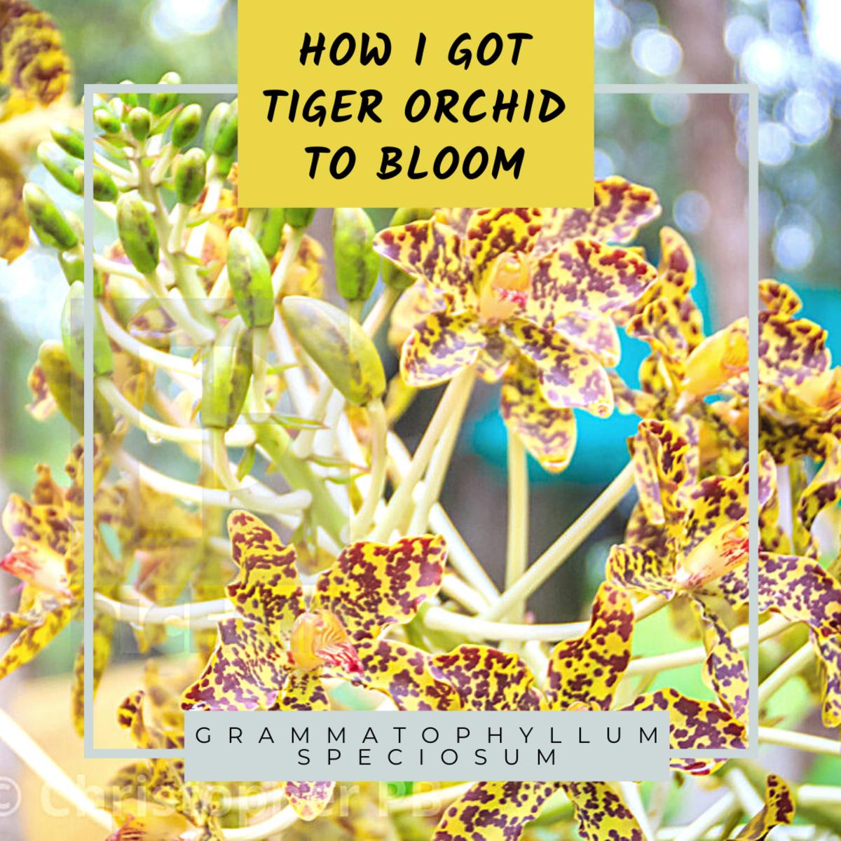 How I Got Tiger Orchid or Grammatophyllum Speciosum Plant To Bloom