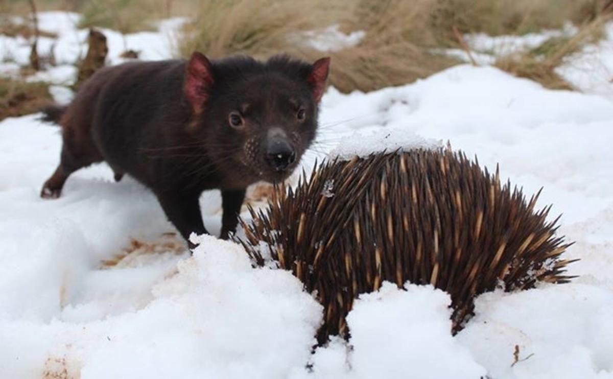 Tasmanian Devil meets an echidna in the snow