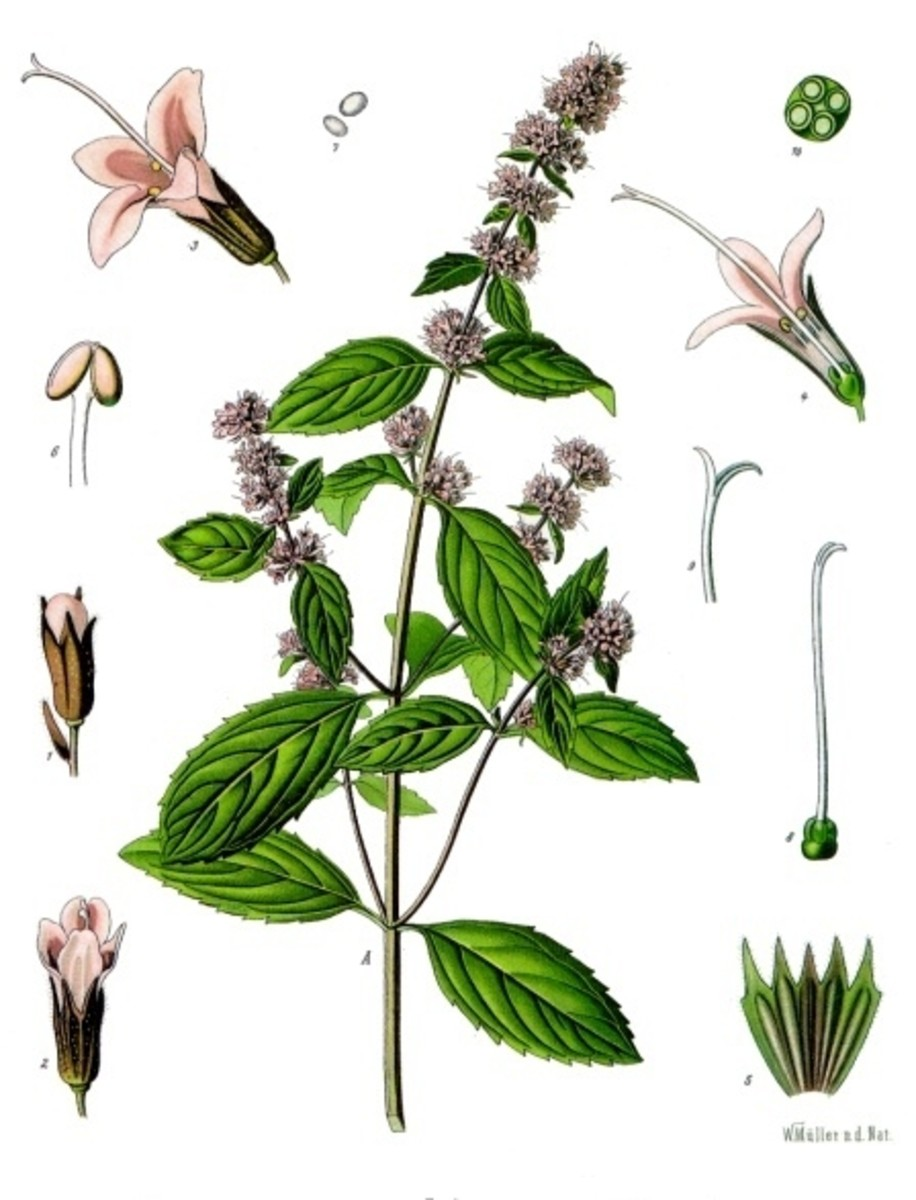 Victorian botanical illustration of a peppermint plant.