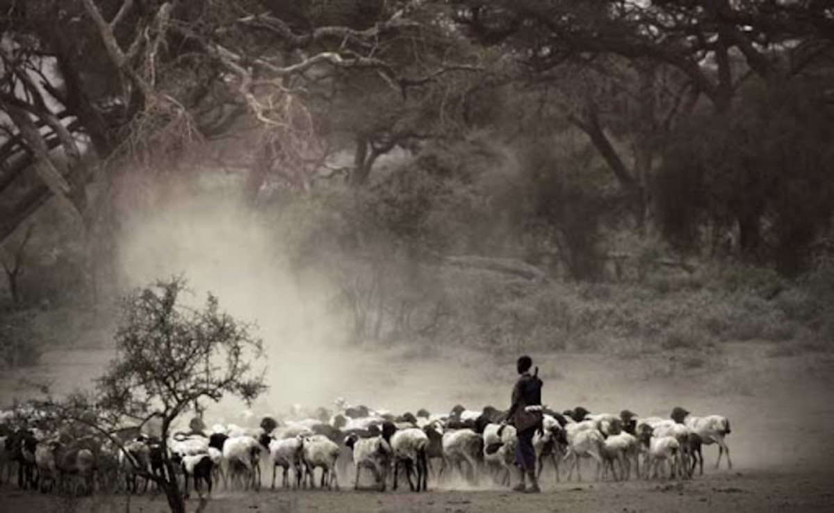 A native kenyan looking after cattle.