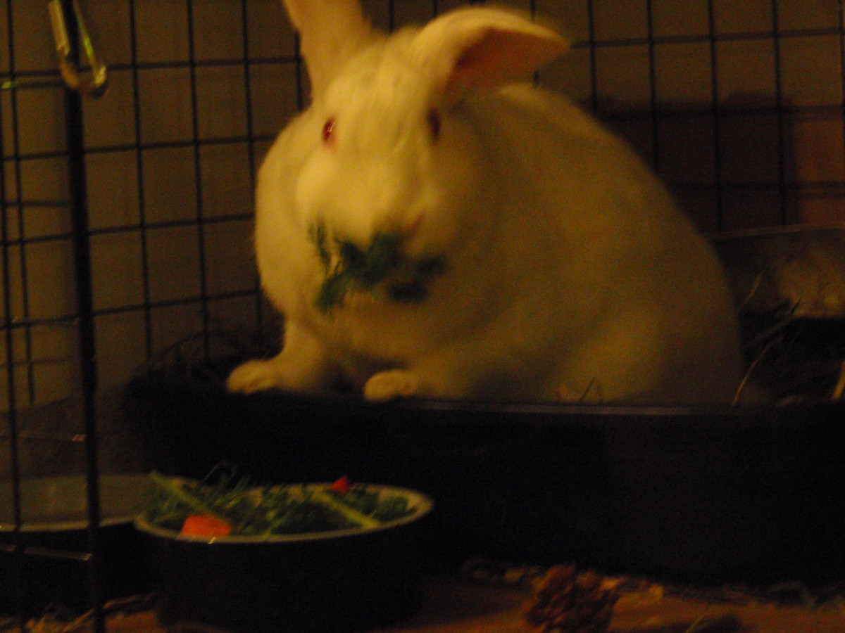 My rabbit munching on his salad of fresh greens.