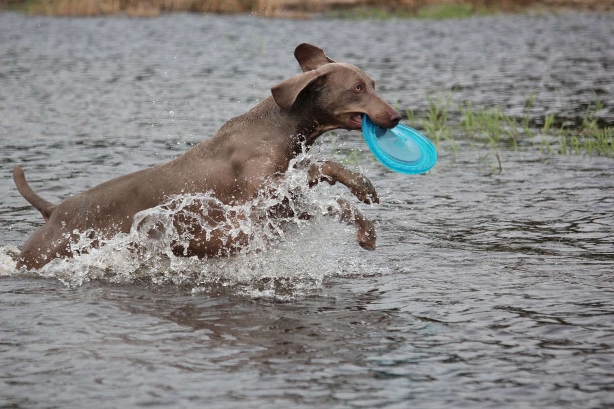 Games of fetch in water can cause a dog to swallow too much liquid