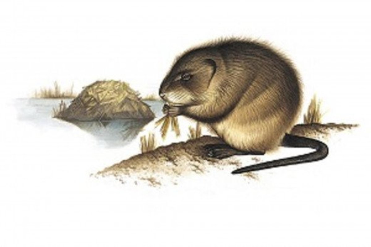 muskrats-an-american-rodent-and-a-part-of-red-indian-beliefs