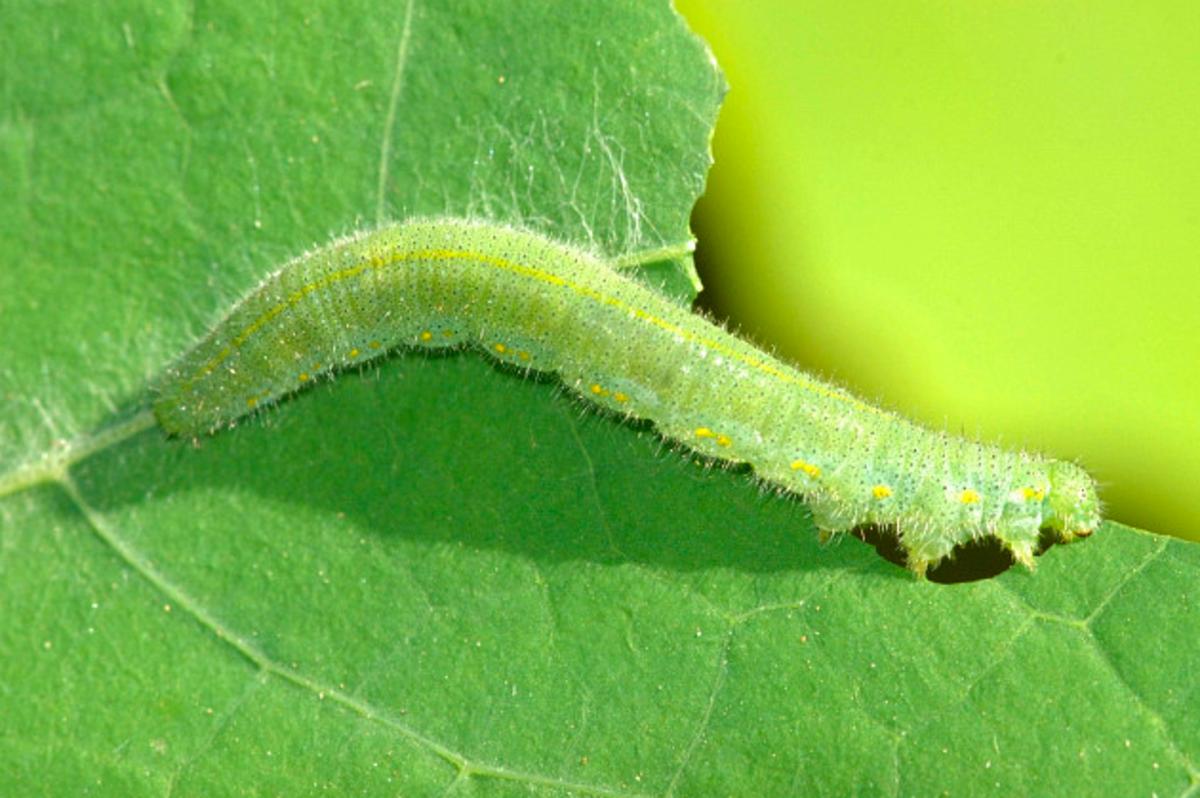 Caterpillar of the cabbage white, Pieris rapae