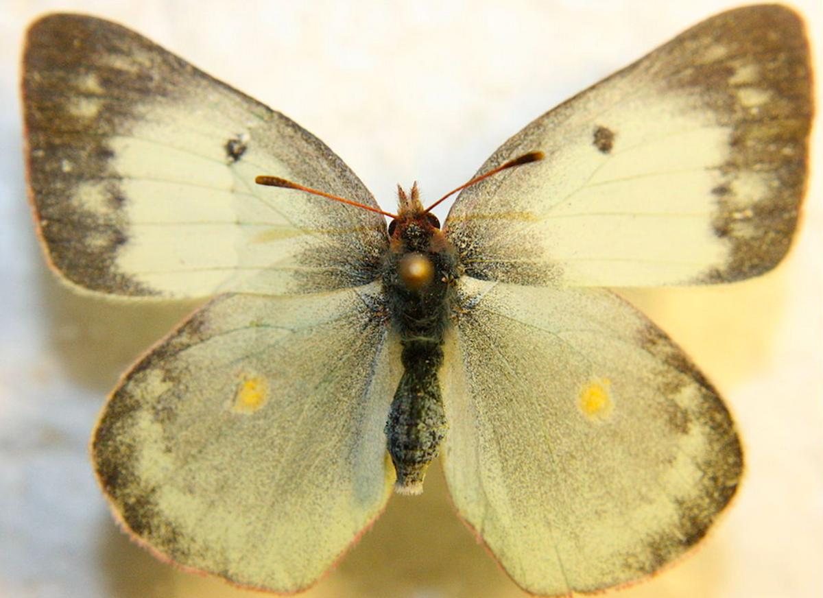Colias philodice, white-form female