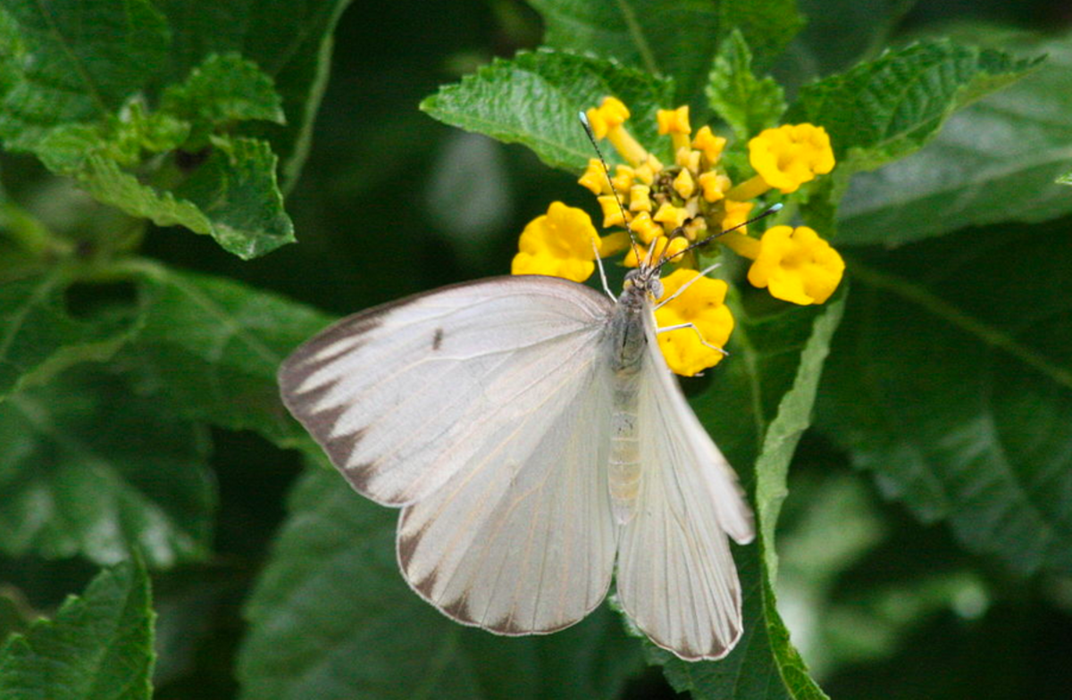Ascia monuste, the great southern white butterfy