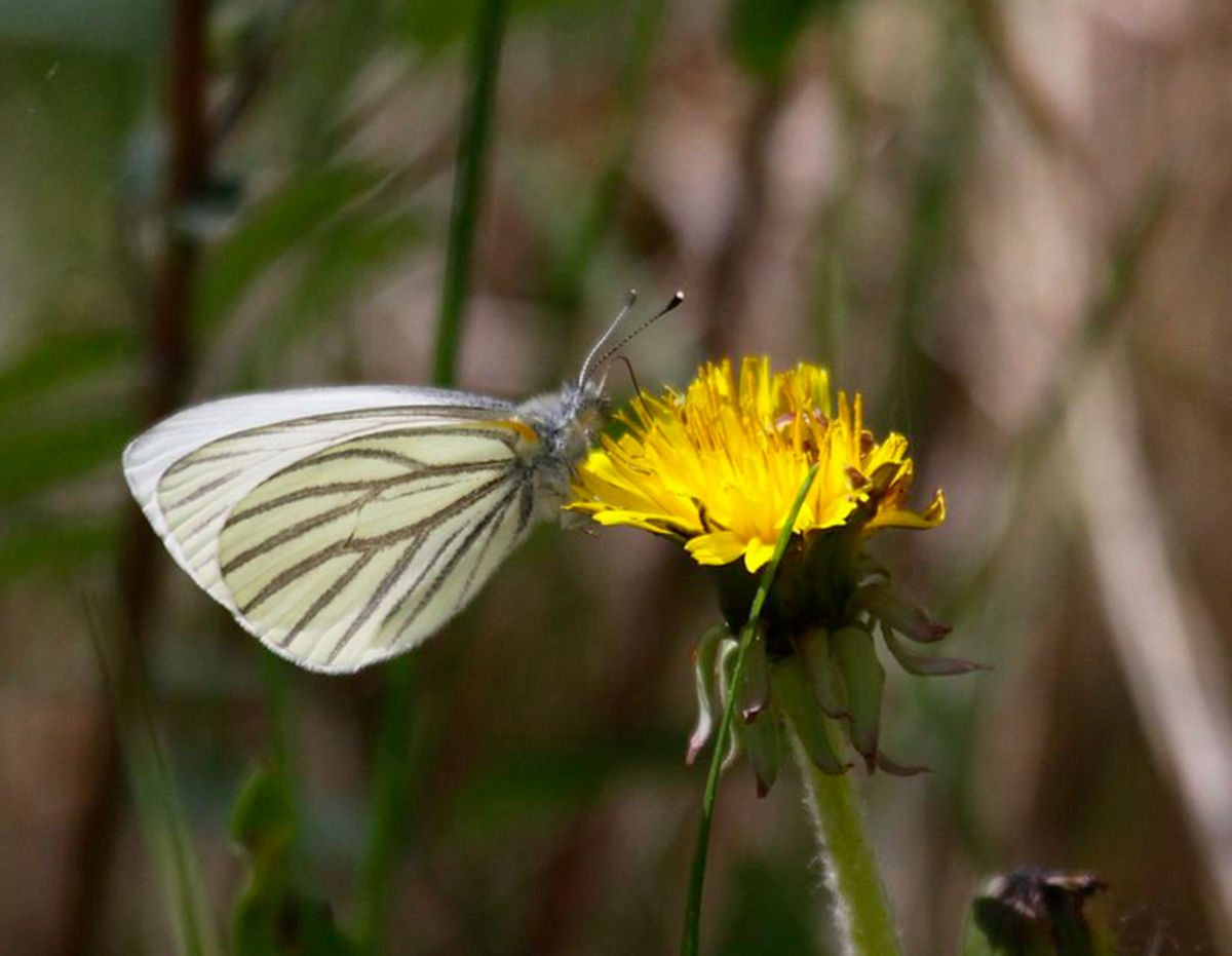 The mustard white butterfly
