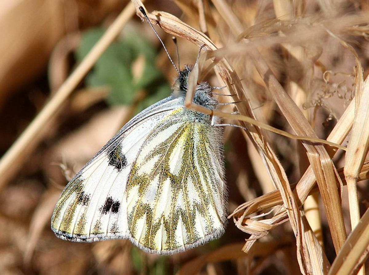Spring white butterfly