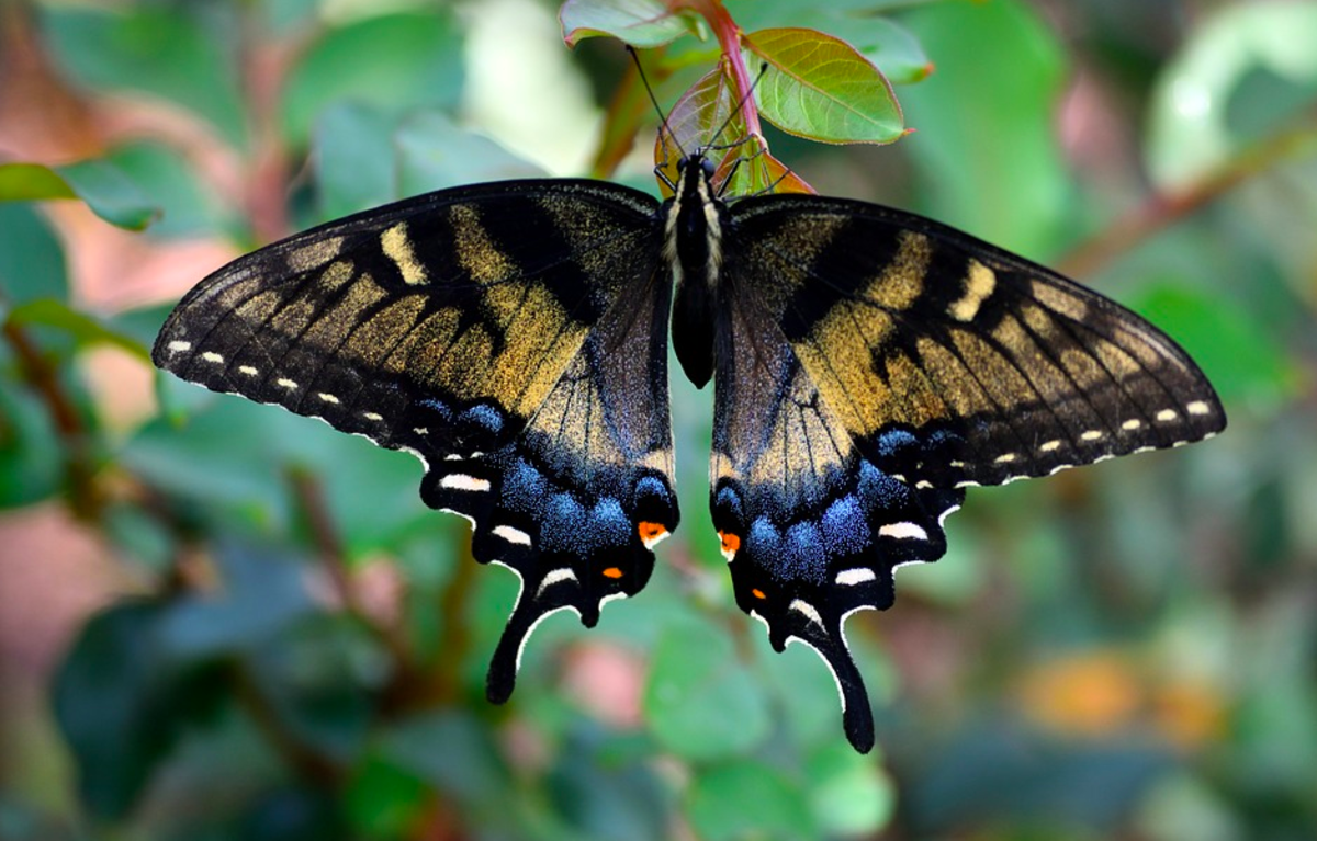 An unusual female tiger swallowtail, showing partial dark-phase coloration.