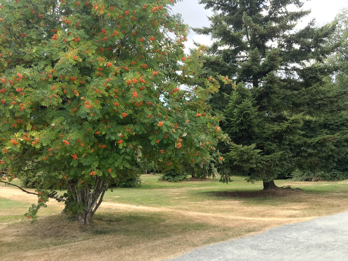 The Douglas-fir tree (on the right) is where I met the inchworms. The other tree is a rowan, or a mountain ash.