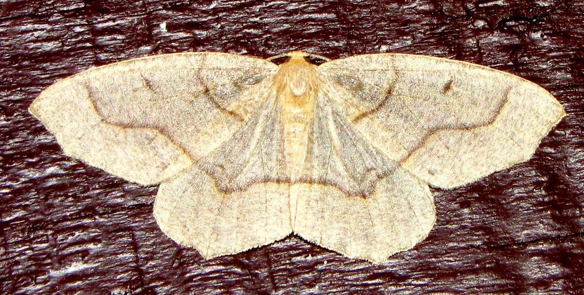 Geometer Moths, Inchworms, and Two Hemlock Looper Species