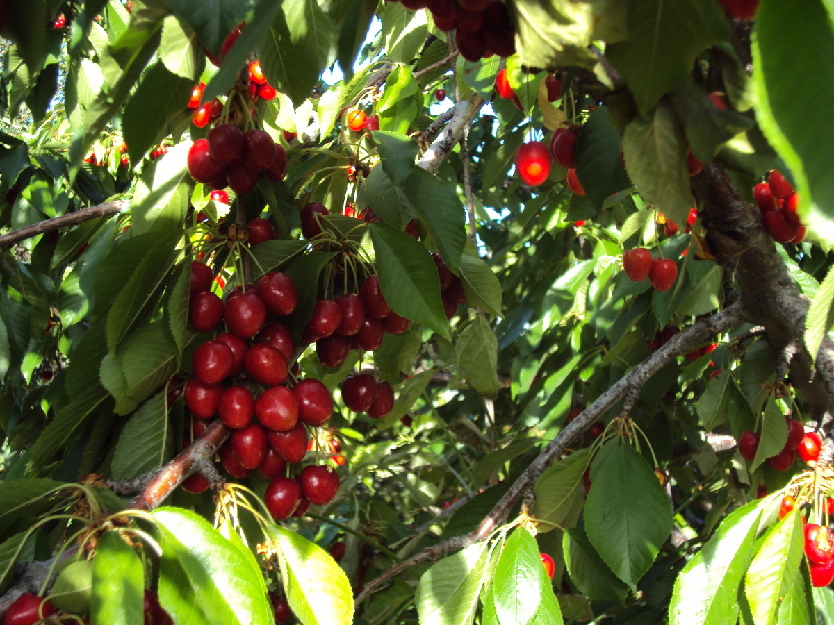 The cherries strawberries, and apricots are among our first seasonal harvests after the dandelion greens.