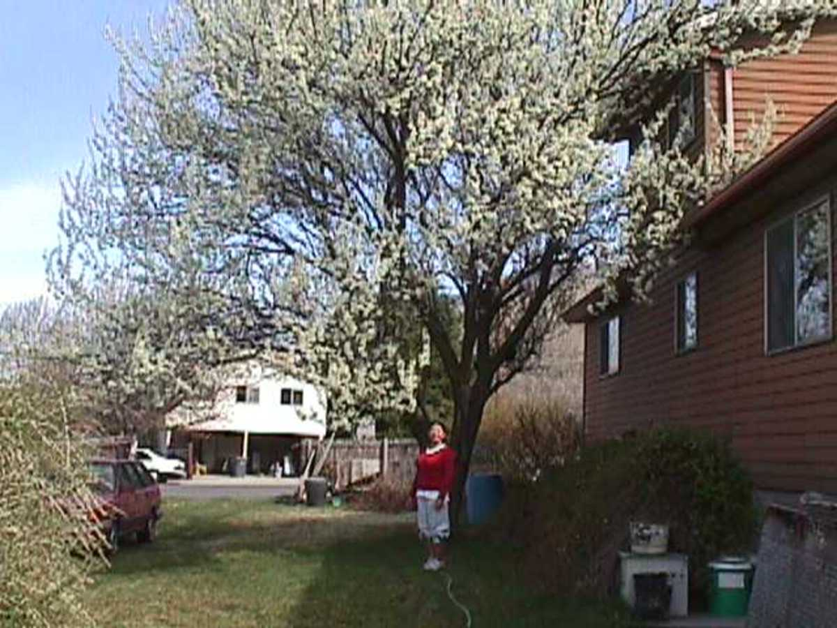 The Santa Rosa plum tree is outside the kitchen window where it blossoms again each spring. The original goji bush is on the left.