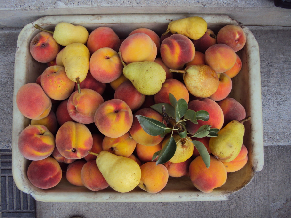 Peaches (4 varieties, including the Flat & Wonderful), pears (3 varieties), and quince come late or last in the season.  One year we had 450 ripe peaches from one tree! (Be careful, branches break under that load!)