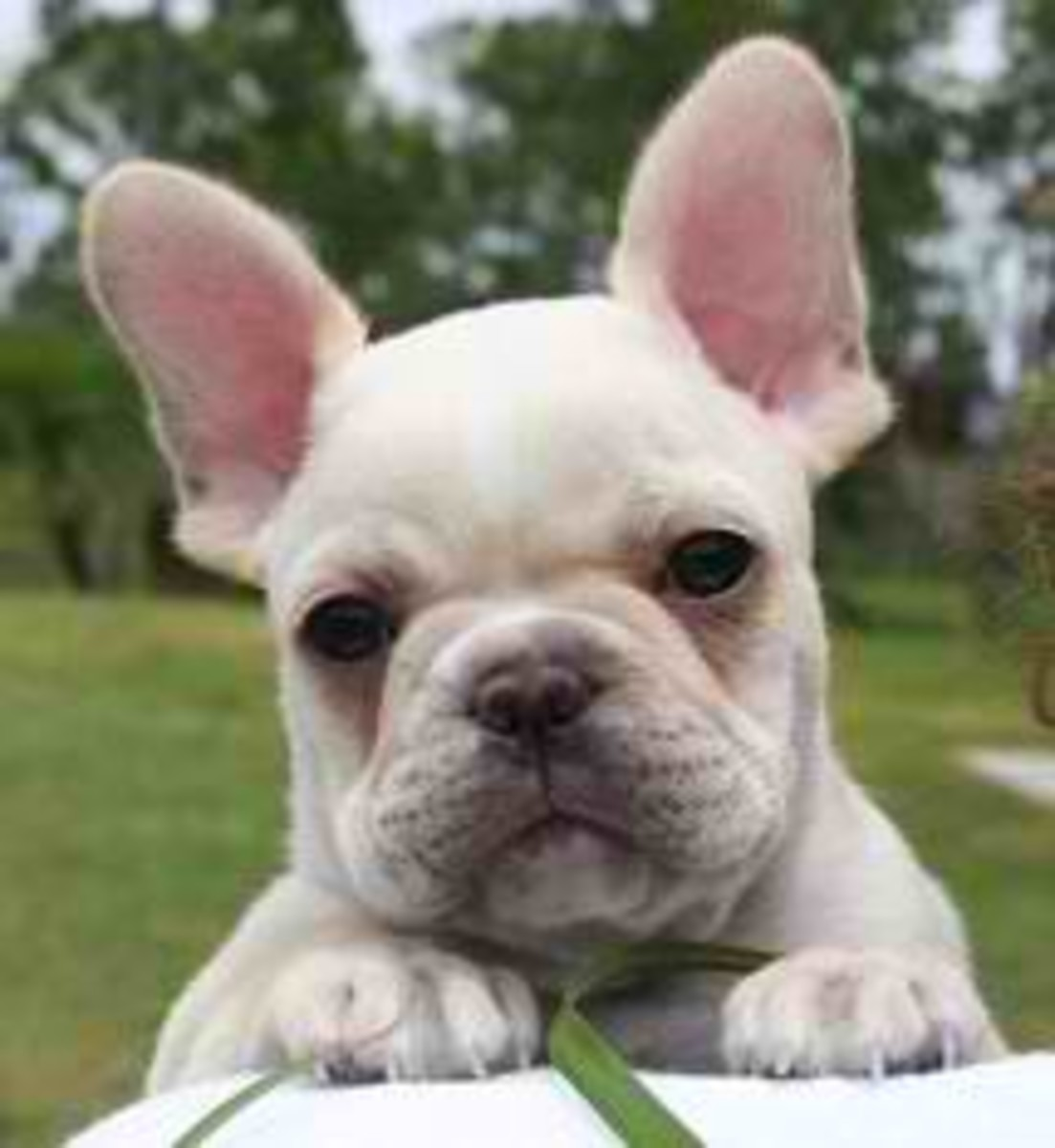 There's Nothing Quite Like a French Bulldog