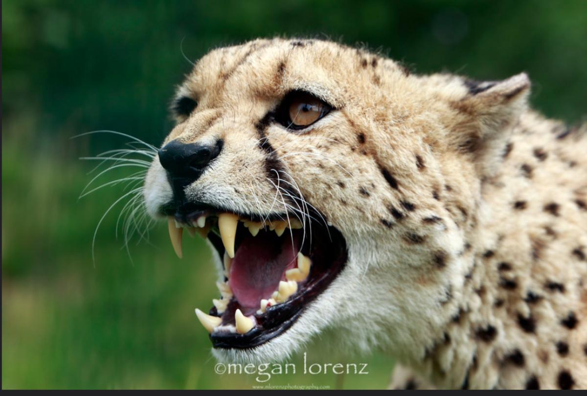 Are Cheetahs Dangerous