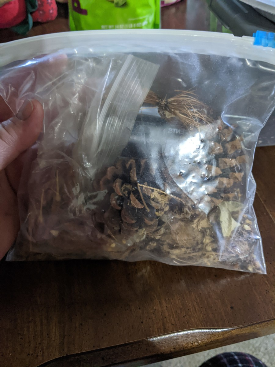 pine-trees-from-seed