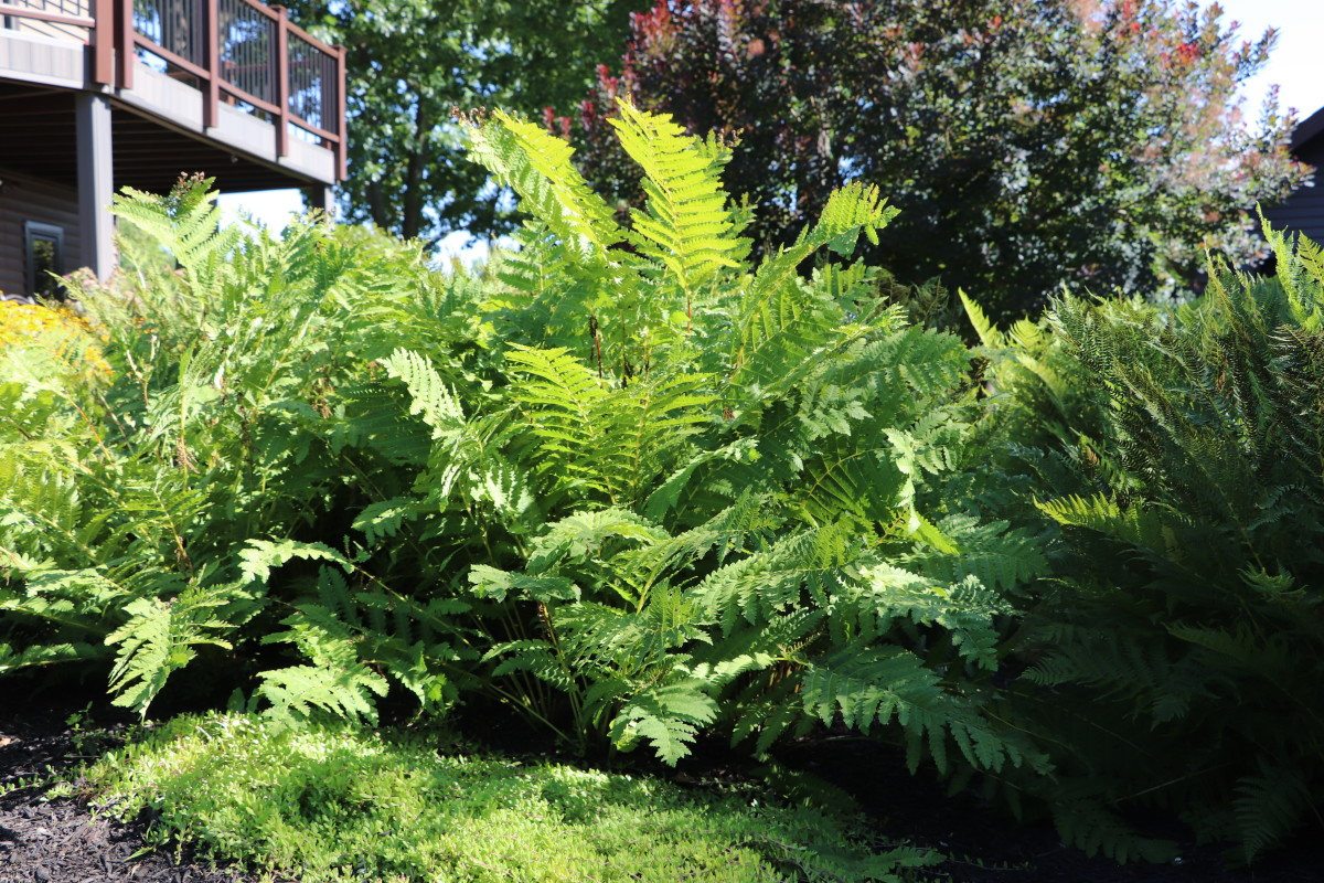 Ostrich fern loves wet areas and creates a wonderful backdrop for smaller plants.
