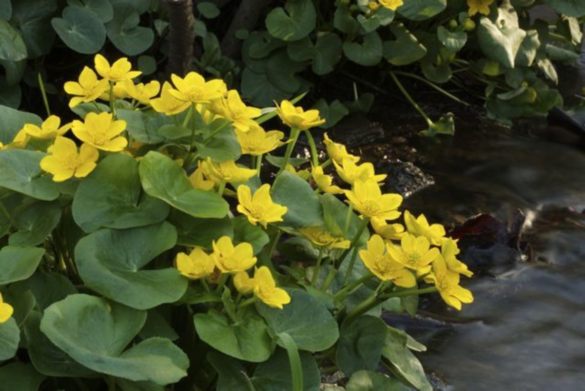 Marsh marigold, or cowslip, has succulent leaves and thrives in swampy conditions.