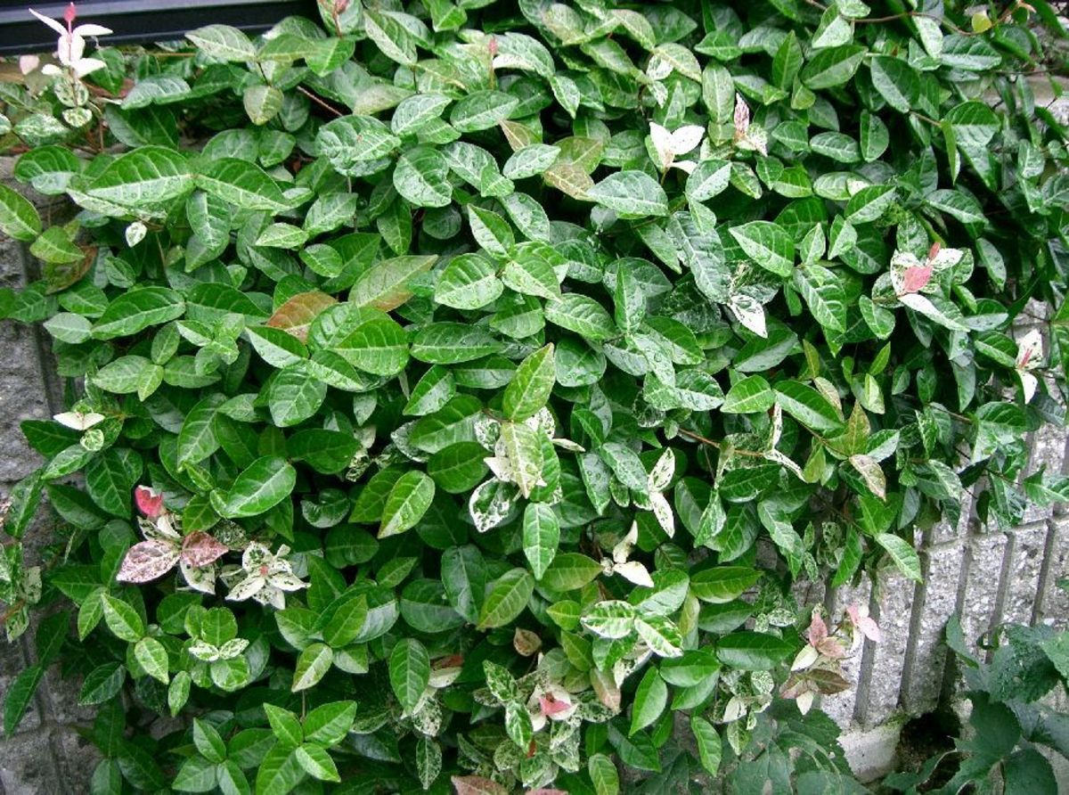 Asiatic jasmine is a groundcover that works well in wet gardens.