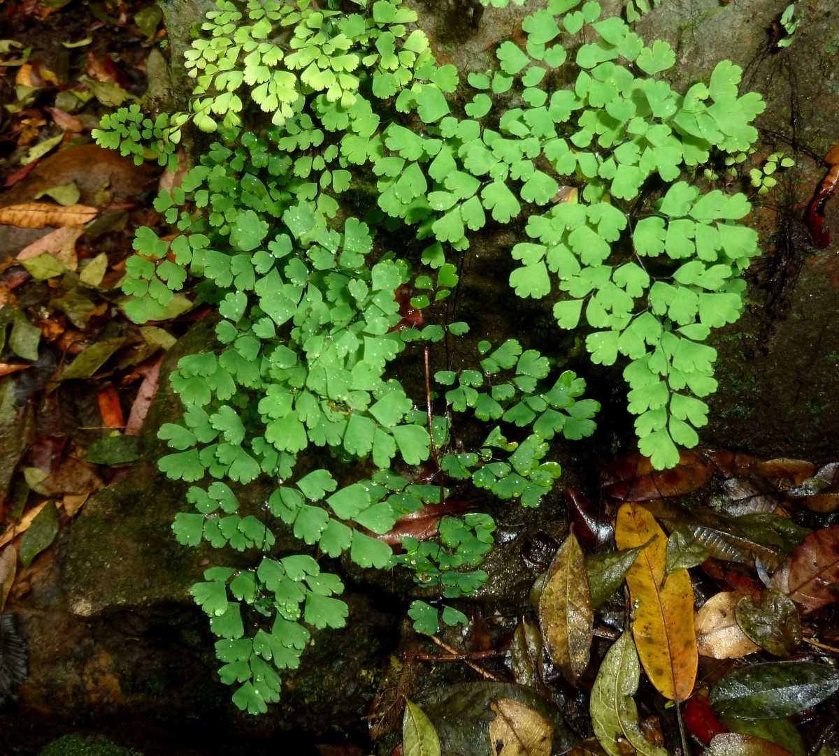 Plant maidenhair fern in wet locations for delicate foliage.