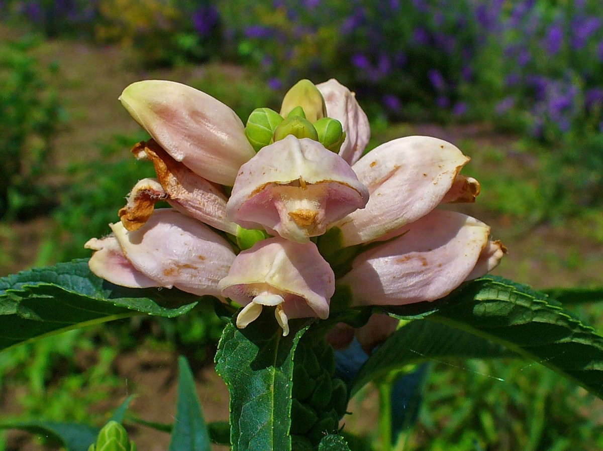 Turtlehead tolerates standing water and is a fantastic addition to consistently wet areas.