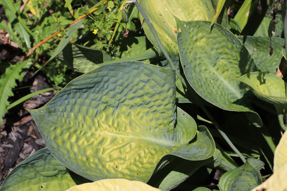 """""""Drinking Gourd"""" hosta is extremely resistant to slugs and snails and loves wet soil."""
