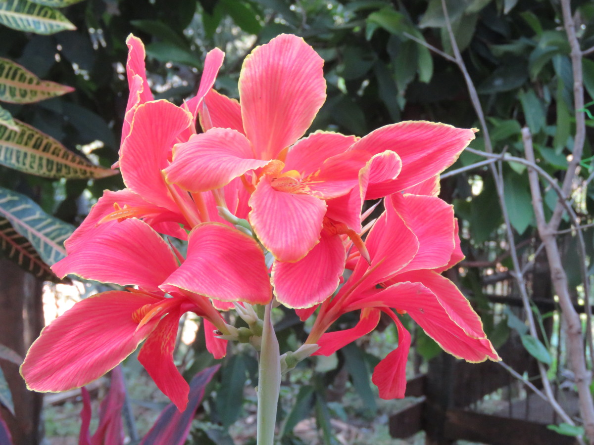 Canna lilies are a beautiful addition to gardens with poor drainage and can be grown as annuals in northern locations.