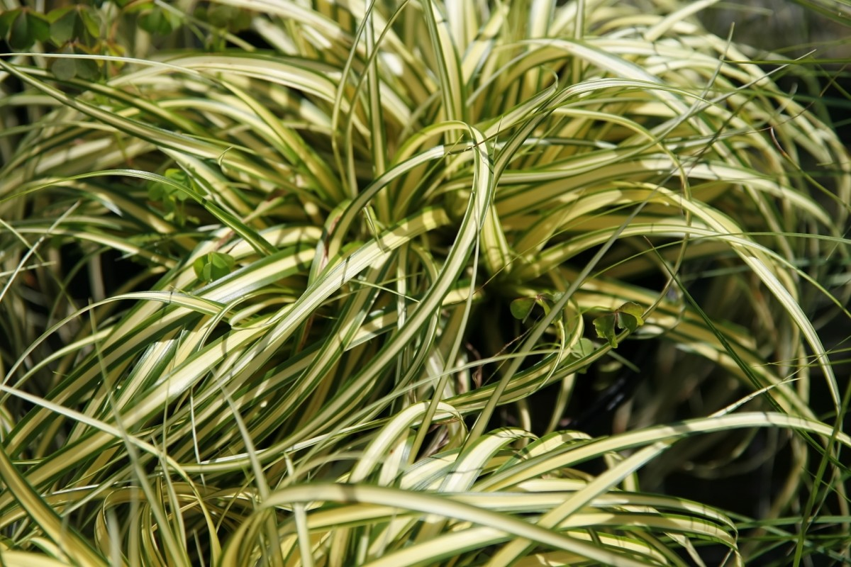 Sedge is a fantastic groundcover for wet areas, but make sure to verify it isn't an invasive plant in your gardening area.