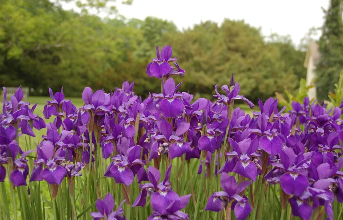 Siberian iris will grow in standing water and comes in a variety of colors.