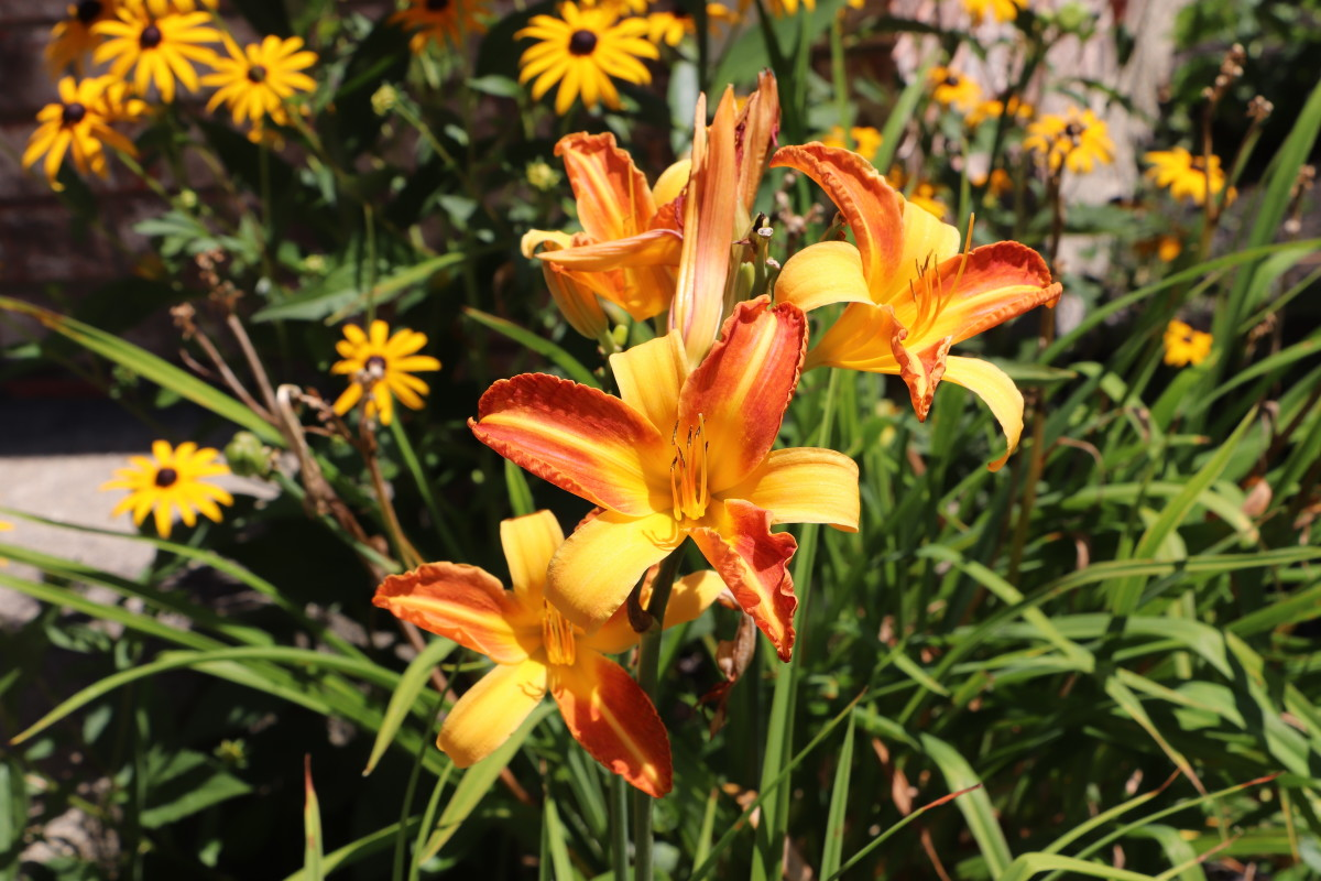 Daylilies are excellent hardy perennials for wet areas, and they come in a variety of beautiful colors.