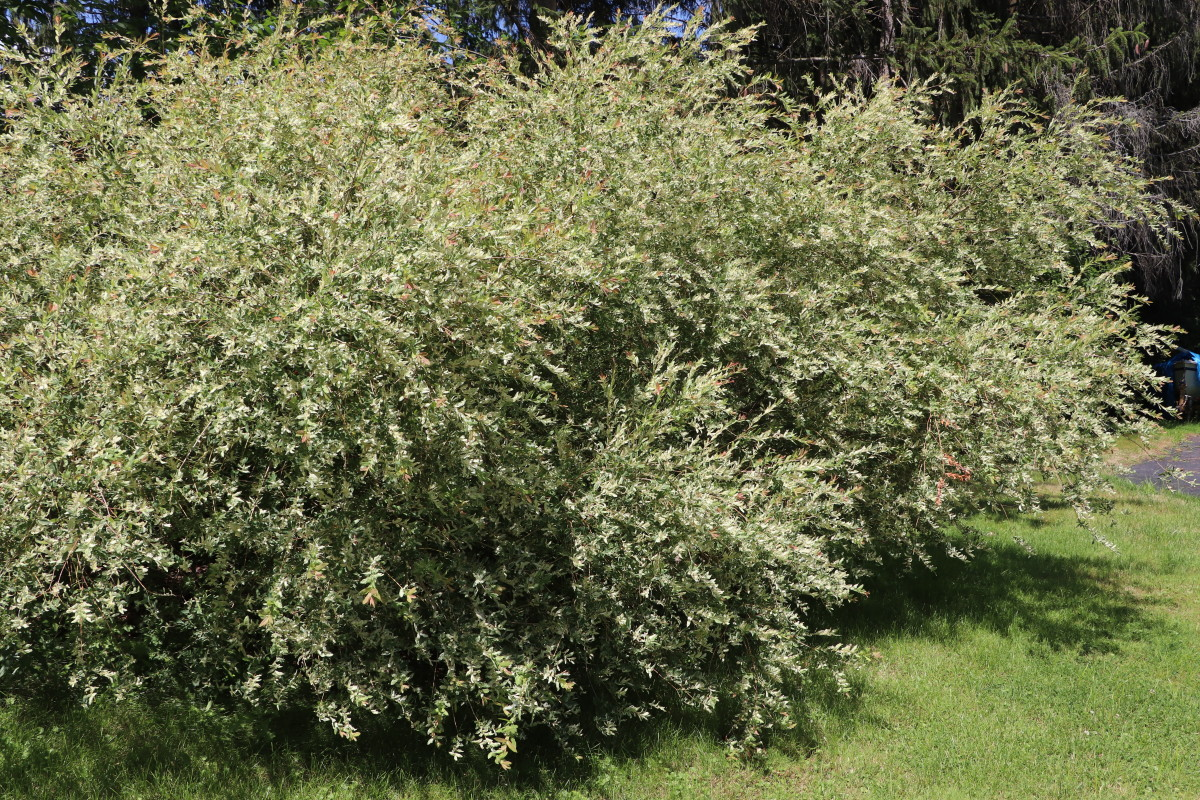 Tricolor willow is a beautiful ornamental shrub that thrives in wet environments.