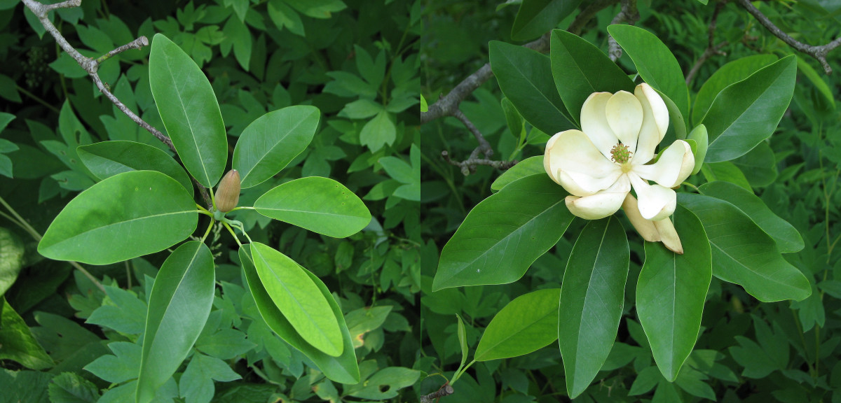 Sweetbay magnolia is semi-evergreen in the colder part of its range, but withstands sodden soil and has beautiful white flowers.