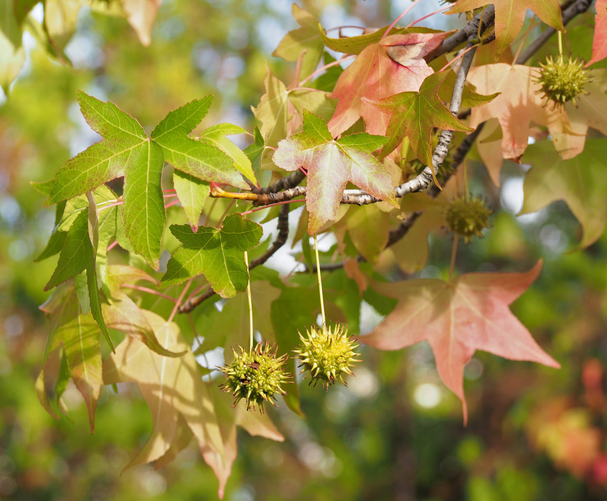 Liquidambar is a fantastic tree for fall foliage in wet locations, but it does produce spiky seed capsules that can litter lawns and sidewalks.