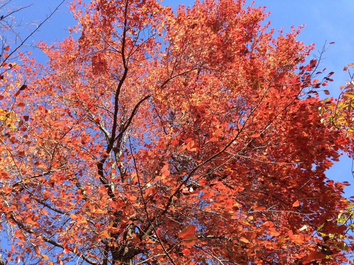 Black tupelo is a wonderful wetland tree that provides food for wildlife.