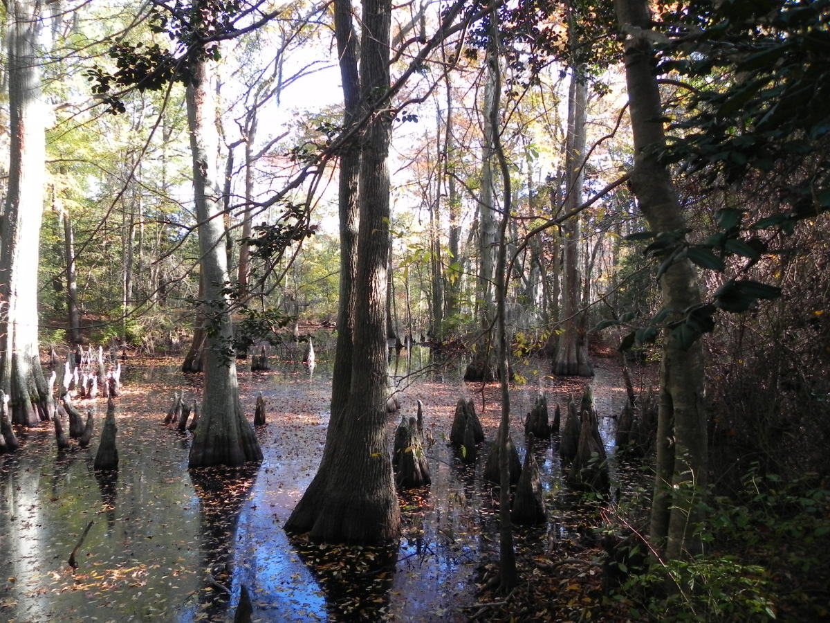 Bald cypress are the most hardy tree to grow in standing water, and can live for over 600 years. The roots form knees above the water for oxygenation.