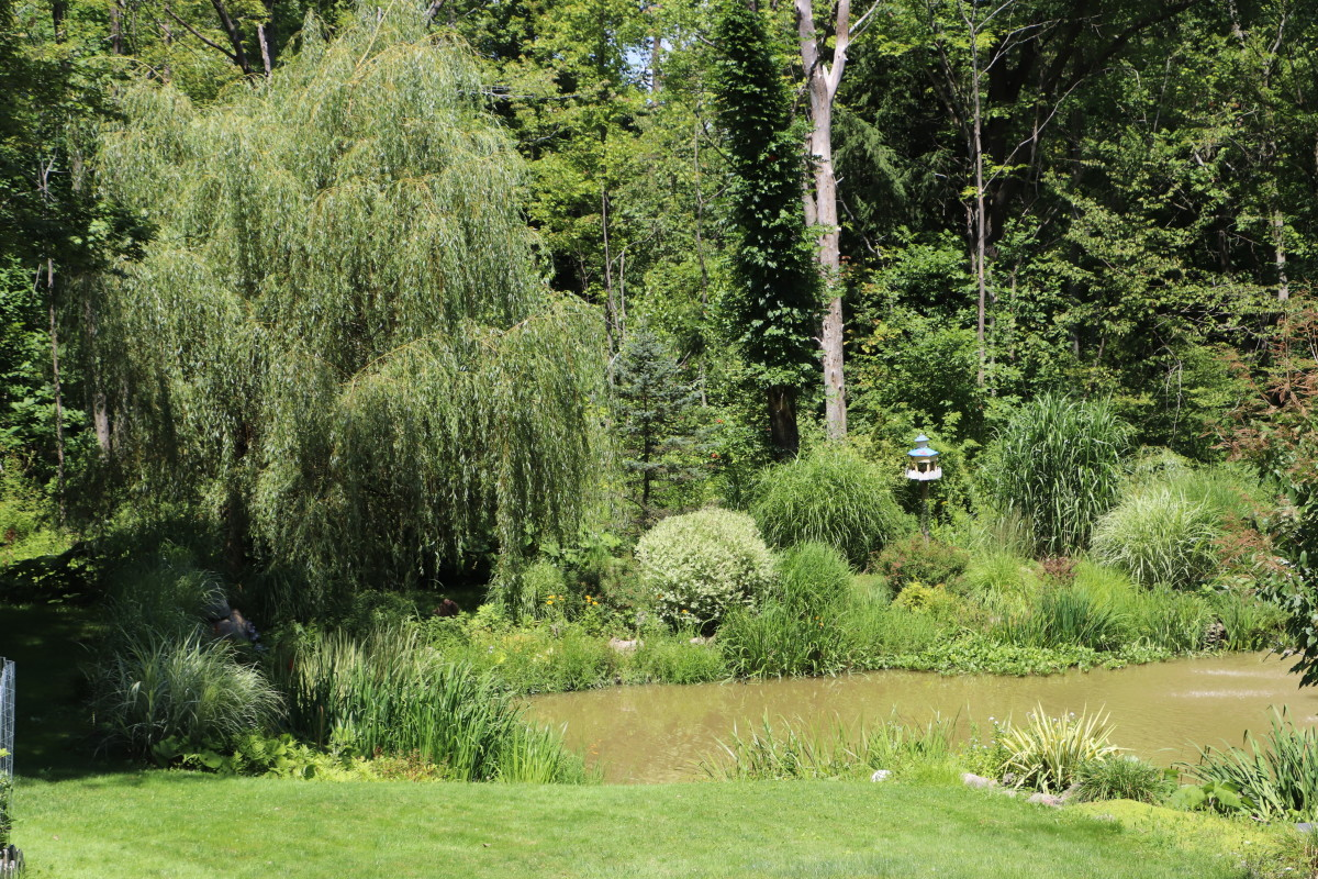 Weeping willow is an excellent choice near ponds and other wet environments.