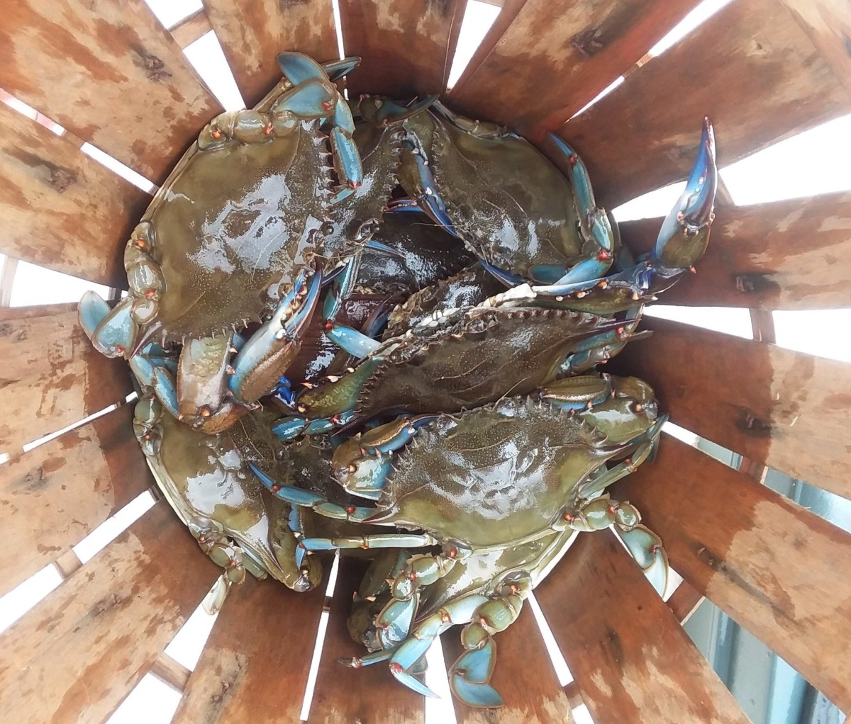 Keeper size Blue Crabs in the basket. We only keep the large male crabs.