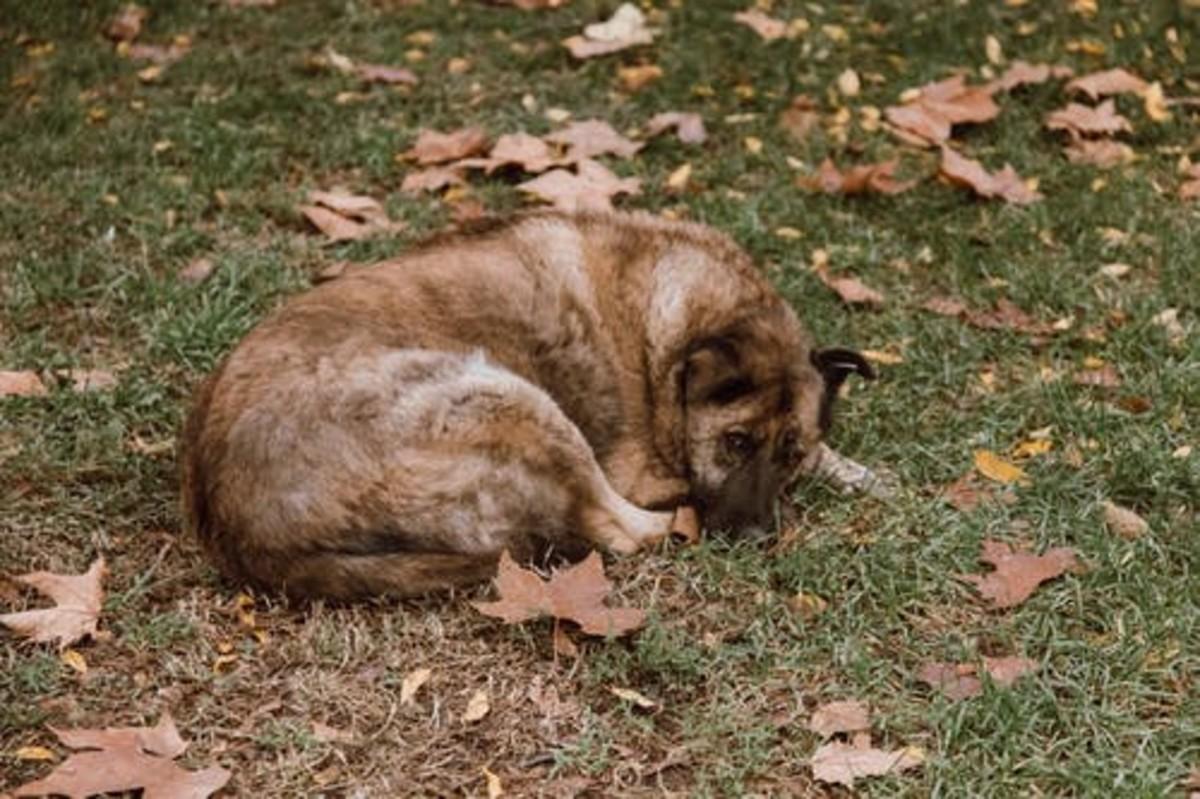 are-poinsettias-poisonous-to-dogs