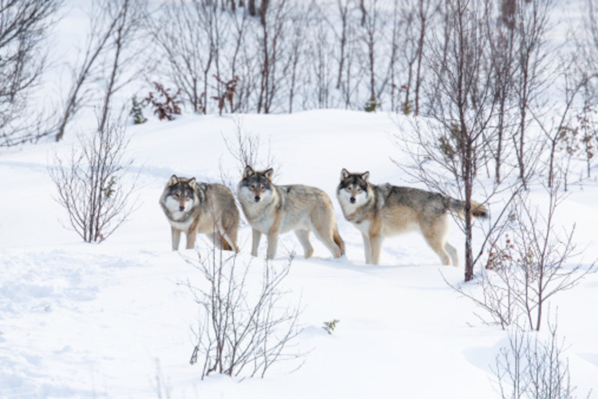Coming face-to-face with wolves is seldom a good thing for anyone involved.