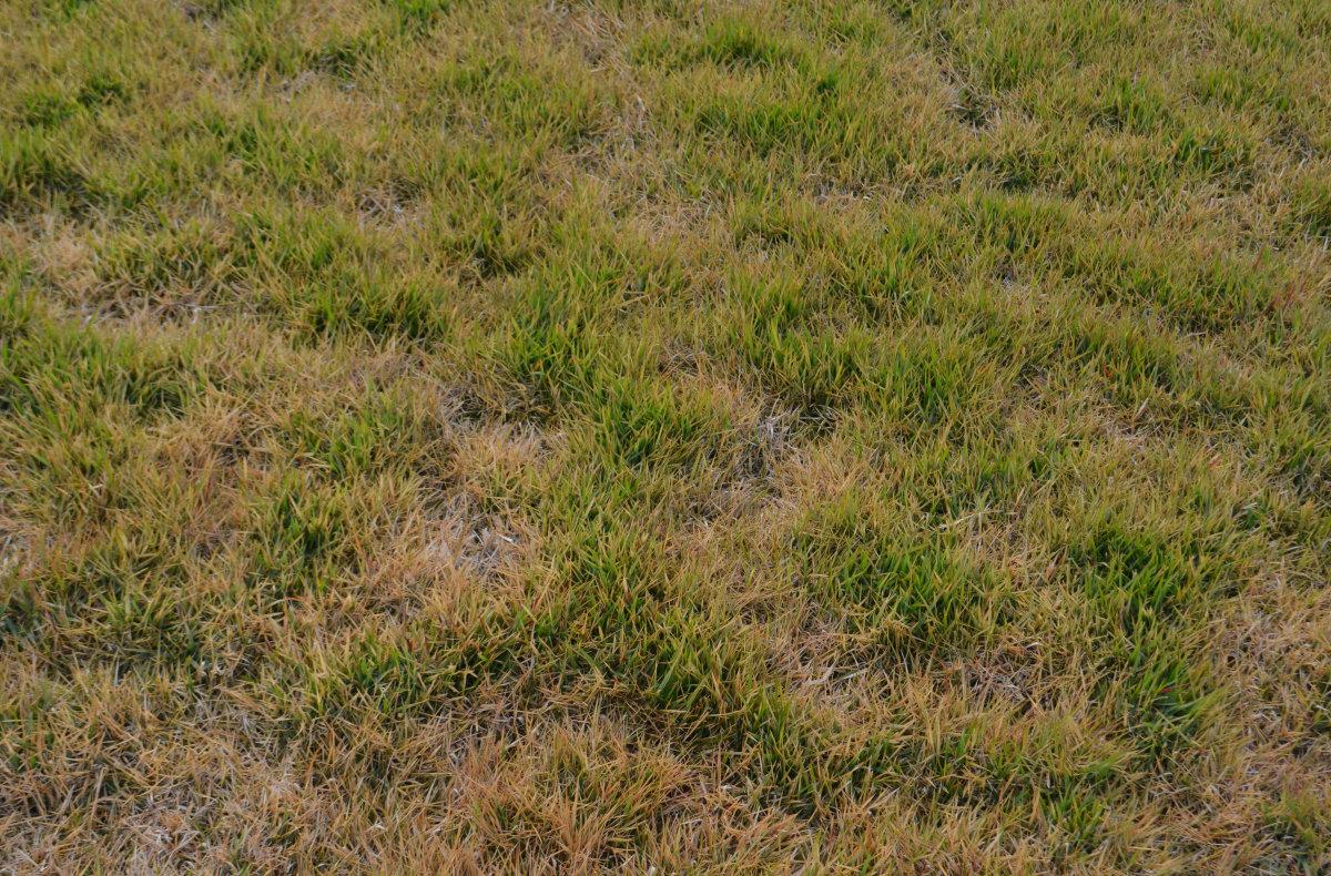 Zoysia grass going dormant in winter. Bermuda grass going dormant looks the same.
